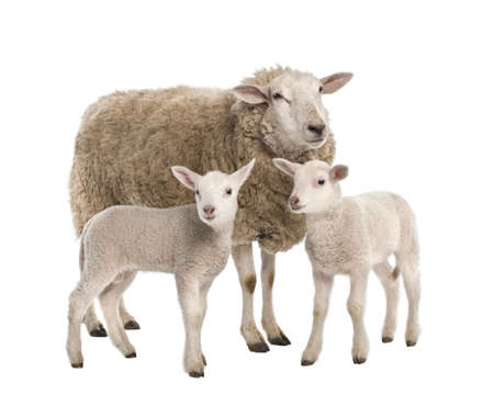 ewe: a Ewe with her two lambs in front of a white background