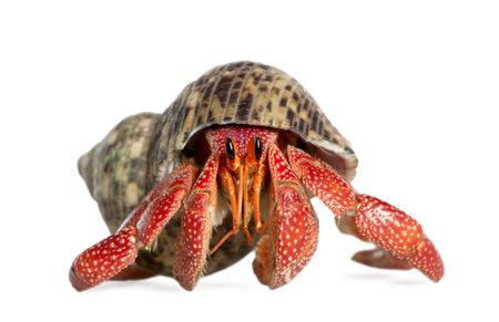 decapod: hermit crab - Coenobita perlatus in front of a white background