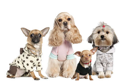 clothed: Group of 4 dogs dressed : chihuahua,shih tzu and Cocker Spaniel in front of a white background