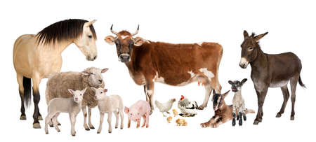 group of farm animals : cow, sheep, horse, donkey, chicken, lamb, ewe,goat, pig in front of a white background