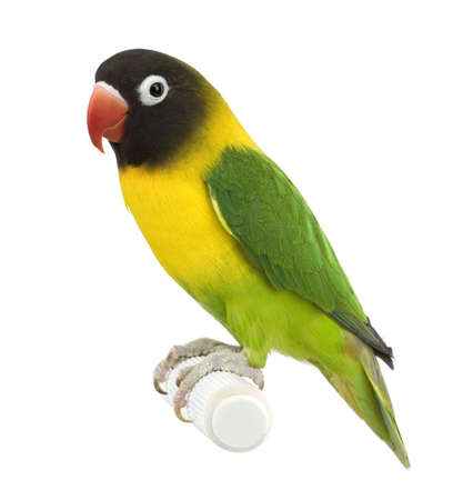Masked Lovebird in front of a white background