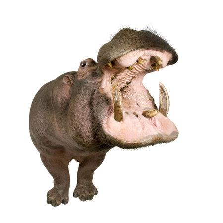 jawbone: Hippopotamus - Hippopotamus amphibius ( 30 years) in front of a white background