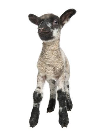 pasen schaap: Zwart-wit Lamb geconfronteerd met de camera (15 dagen oud) ten overstaan van een witte achtergrond Stockfoto