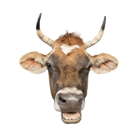 Close-up on a head of a brown Jersey cow (10 years old) in front of a white background photo