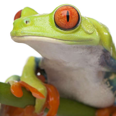 redeyed tree frog: close-up on a Red-eyed Tree Frog - Agalychnis callidryas in front of a white background