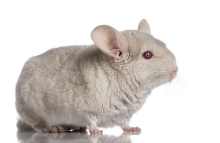 4 years old: Chinchilla (4 years old) in front of a white background