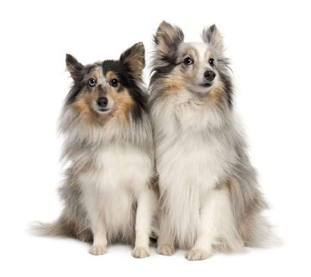 Couple of two shelties in front of white background photo