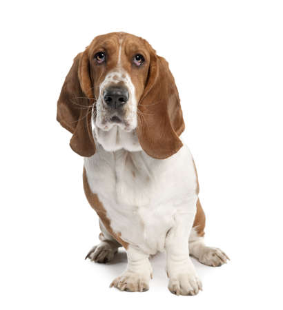 Basset Hound (1 year old) in front of a white background photo