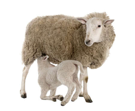 suckling: lamb suckling his mother (a ewe) in front of a white background