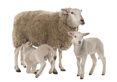 ewe: a Ewe with her two lambs, one is suckling in front of a white background