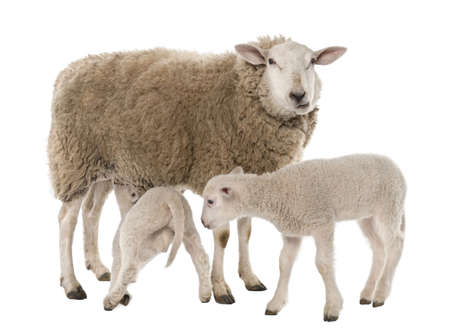 a Ewe with her two lambs, one is suckling in front of a white background photo