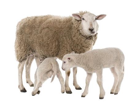 oveja negra: una ew� con sus dos corderos, uno es cochinillo delante de un fondo blanco Foto de archivo