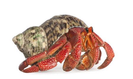 hermit: hermit crab - Coenobita perlatus in front of a white background