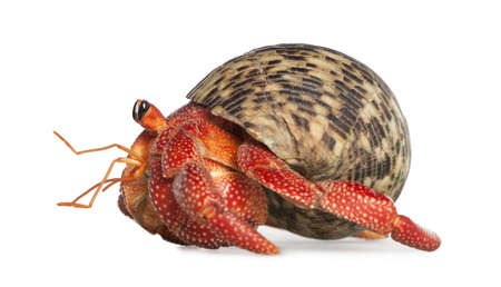 terrestrial mammals: hermit crab - Coenobita perlatus in front of a white background