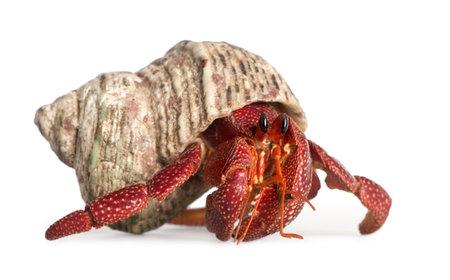 coconut crab: hermit crab - Coenobita perlatus in front of a white background