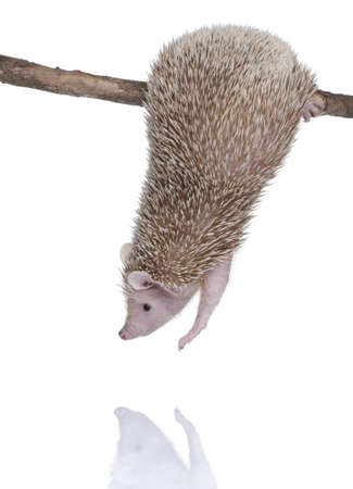 Lesser Hedgehog Tenrec , Echinops telfairi in front of a white background, It is endemic to Madagascar. photo