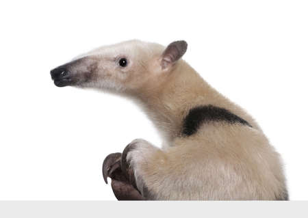 going out: Collare Anteater uscire da dietro un pannello bianco grigio - Tamandua tetradactyla di fronte a uno sfondo bianco