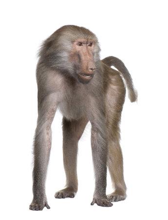 Baboon - Simia-Hamadryas vor der einen weißen Hintergrund