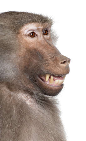 Close-up on a Baboons head  -  Simia hamadryas in front of a white background photo