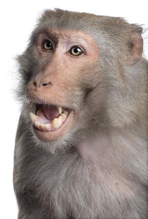 macaque: Rh�sus macaque - Macaca mulatta en face de fond blanc  Banque d'images