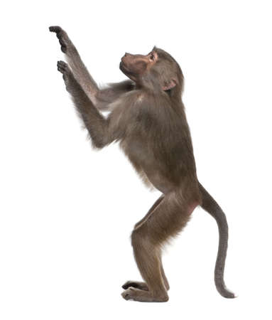 Baboon  -  Simia hamadryas in front of a white background