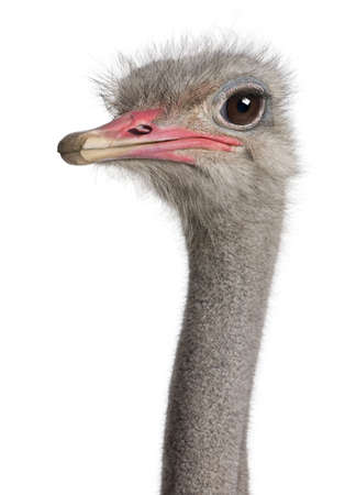 the ostrich: close-up on a ostrichs head in front of a white background Stock Photo