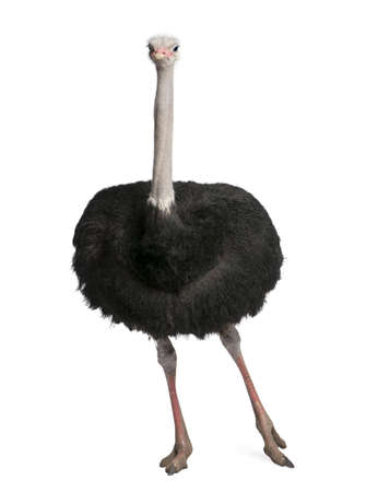 male ostrich - Struthio camelus in front of a white background