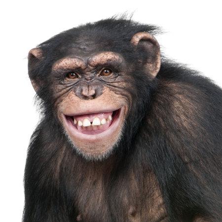 monos: Young Chimpanzee - Simia troglodytes (6 a�os) delante de un fondo blanco Foto de archivo