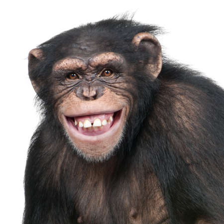 clowning: Young Chimpanzee - Simia troglodytes (6 years old) in front of a white background