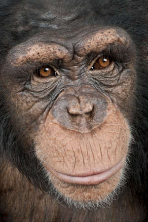 troglodytes: Close-up on a head of a Young Chimpanzee - Simia troglodytes (5 years old) in front of a white background
