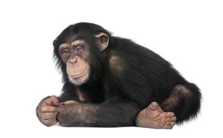 chimpansee: Jonge Chimpanzee - simia troglodytes (5 jaar) voor een witte achtergrond