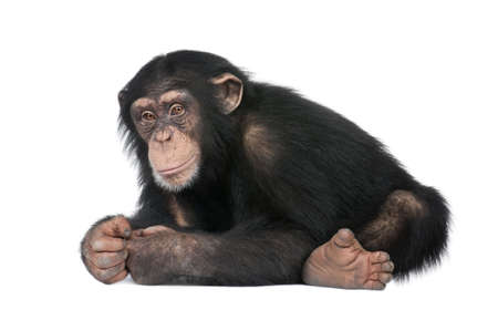 troglodytes: Young Chimpanzee - Simia troglodytes (5 years old) in front of a white background Stock Photo