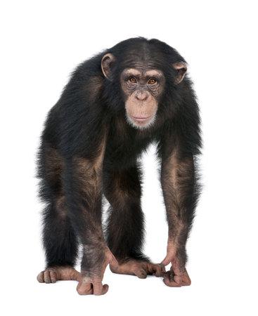 chimpansee: Young chimpansees kijken van de camera - Simia troglodytes (5 jaar oud) ten overstaan van een witte achtergrond Stockfoto