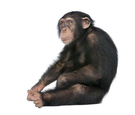 chimpansee: Jonge chimpansees - Simia troglodytes (5 jaar oud) ten overstaan van een witte achtergrond