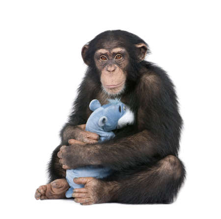 Young Chimpanzee with his teddy bear - Simia troglodytes (5 years old) in front of a white background