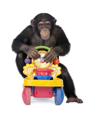 Young Chimpanzee - Simia troglodytes (5 years old) in front of a white background Stock Photo