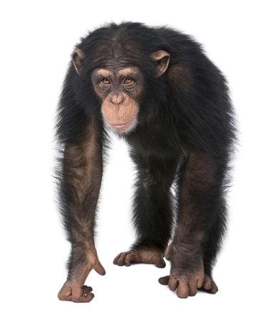 chimpansee: Jonge chimpansee - Simia troglodytes (5 jaar) voor een witte achtergrond