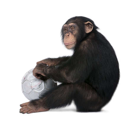 he old: side view of a Young Chimpanzee and his ball - Simia troglodytes (5 years old) in front of a white background, he looks like he is sulking.