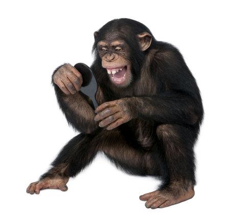 Young Schimpanse selbst der Spiegel vor einem weißen Hintergrund betrachten Standard-Bild