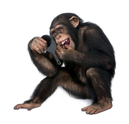 lear: Young Chimpanzee looking at his teeth in a mirror  in front of a white background