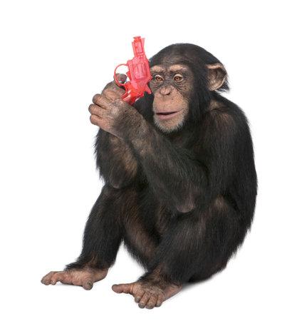 chimpansee: Jonge Chimpanzee spelen met een pistool - simia troglodytes (5 jaar) voor een witte achtergrond