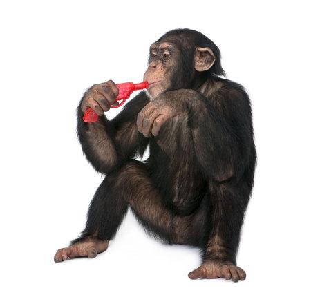 chimpansee: Jonge Chimpansee spelen met een pistool - Simia troglodytes (5 jaar oud) voor een witte achtergrond Stockfoto