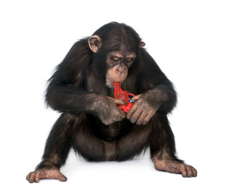 clowning: Young Chimpanzee playing with a gun  - Simia troglodytes (5 years old) in front of a white background