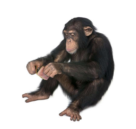 chimpanzee: Young Chimpanzee looking himself at the pocket mirror in front of a white background
