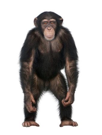 Jóvenes chimpancés de pie como un ser humano - Simia troglodytes (5 años) delante de un fondo blanco