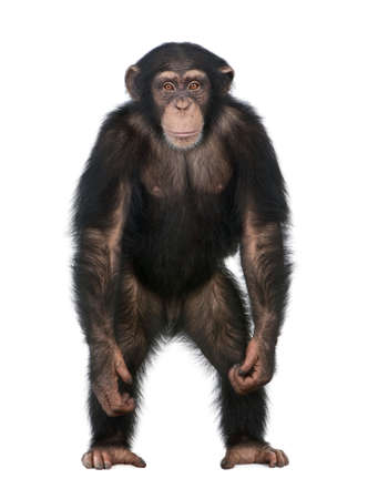 facing on the camera: Young Chimpanzee standing up like a human - Simia troglodytes (5 years old) in front of a white background