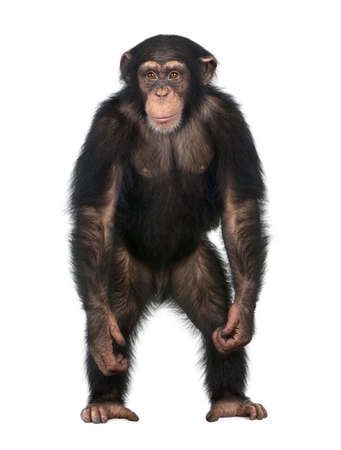 troglodytes: Young Chimpanzee standing up like a human - Simia troglodytes (5 years old) in front of a white background