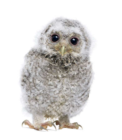 bird's eye view: front view of a owlet looking at the camera - Athene noctua (4 weeks old) in front of a white background Stock Photo
