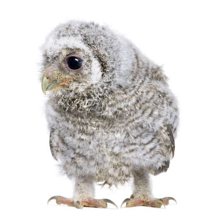 anima: owlet - Athene noctua (4 weeks old) in front of a white background Stock Photo