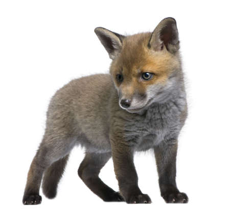 fox fur: Red fox cub (6 Weeks old)- Vulpes vulpes in front of a white background